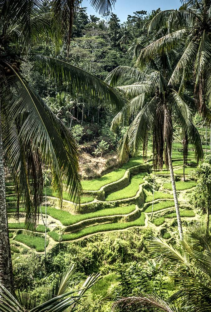 Tegalalang rice terraces are a Unesco Heritage site and for good reason: you might see a 1000 rice fields in your life, but Tegalalang will likely still be your favorite