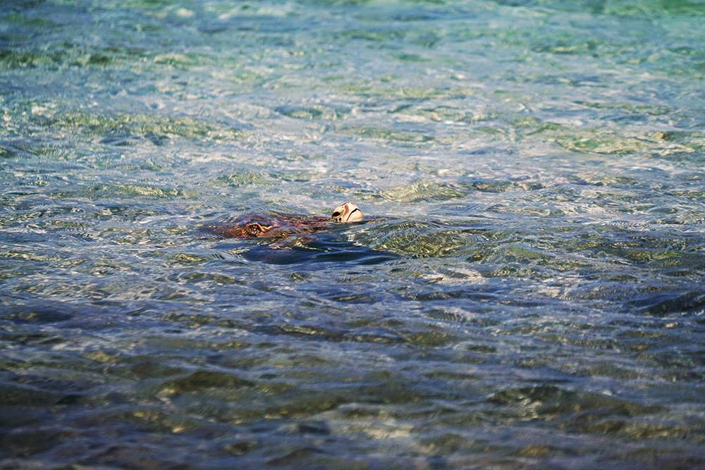 Not a rare find: sea turtles aplenty when cruising around the beaches of Riviera Maya