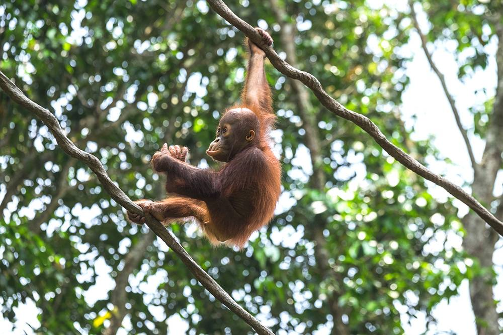 Observing from a distance, so not to cause any harm: Borneo is one of the few places in the world possible to spot orangutans